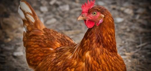 chicken-3727097_1920
